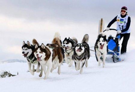 В Тотьме пройдут гонки на собачьих упряжках